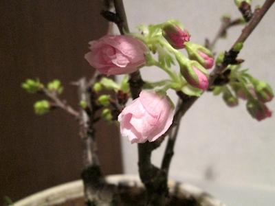 Sakura1403173