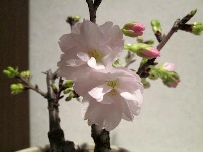 Sakura1403182